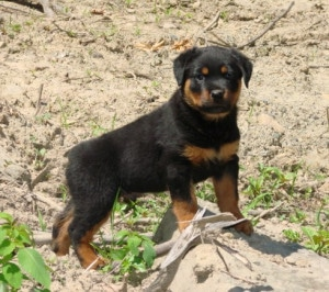 Max the Rottweiler puppy